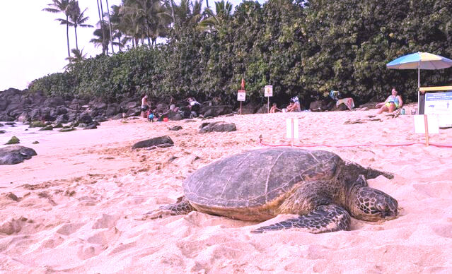 Tortuga en Playa Laniakea