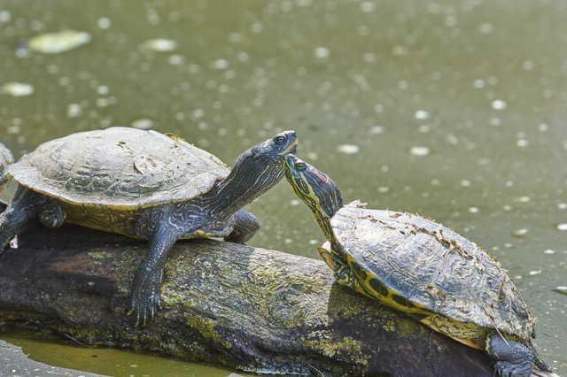 Cortejo de tortuga macho