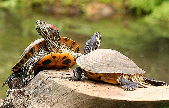 Diferencia entre tortugas macho y hembra