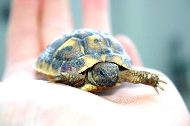 Las garras delanteras de la tortuga macho son mas largas que las de la hembra