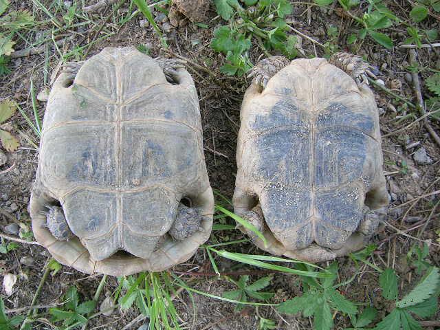 El plastrón permite diferenciar la tortuga hembra del macho.
