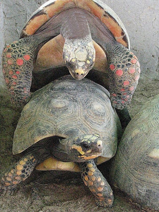 Tortugas apareandose