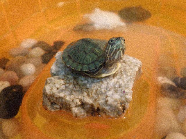 tortuga-bebe-tortuguero
