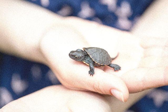 tortuga-bebe